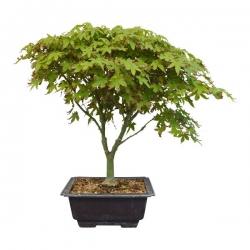 Bonsaï Erable Palmatum Kiyohime (Acer Kiyohime) – 35 cm