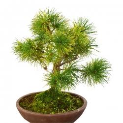 Pins à cinq aiguilles (Pinus Parviflora) – 38 cm