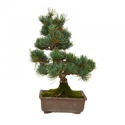 Pins à cinq aiguilles (Pinus Parviflora) 20 ans – 30 cm