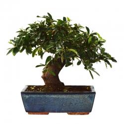 Bonsaï Pyracantha 14 ans - 45 cm