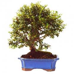 Bonsaï Cotoneaster 10 ans – 29 cm