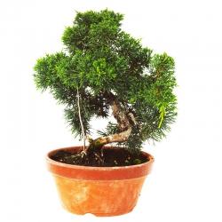Bonsaï Genévrier  (Juniperus Chinensis) 16  ans - 25 cm