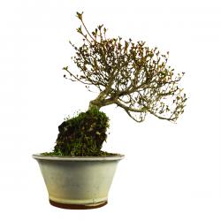 Bonsaï Shohin Genévrier Rigida (Juniperus) - 20cm