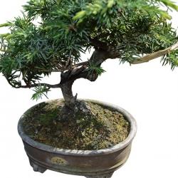 Bonsaï Erable palmé (Acer Palmatum Shishigashira) 23 ans – 60 cm