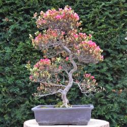 Bonsaï Azalée (Rhododendron...
