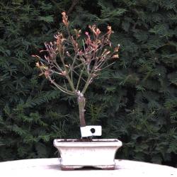Acer palmatum variegata -...