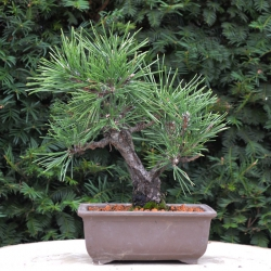 Bonsai Pinus  Thunbergii –...