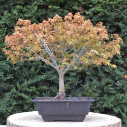Japanse esdoorn bonsaï...