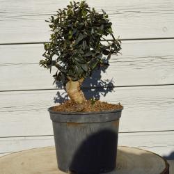 Bonsaï Olea Europea - 24cm