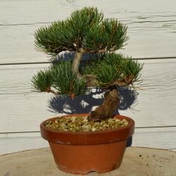 Bonsaï Pinus Pentaphylla –...