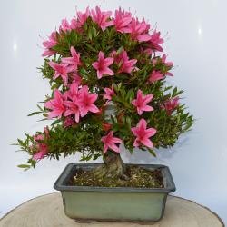 Bonsaï Azalea (Rhododendron...