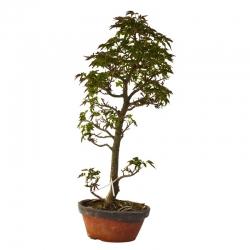 Bonsaï Pins à cinq aiguilles (Pinus Parviflora) – 40 cm