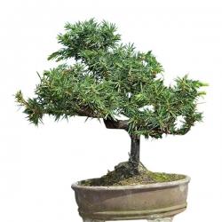 Bonsaï shohin Juniperus Rigida