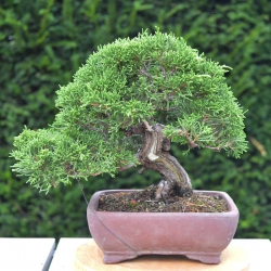 Bonsaï Shohin Juniperus...