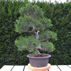 copy of Bonsaï Juniperus...