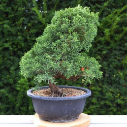Bonsaï Juniperus Chinensis...