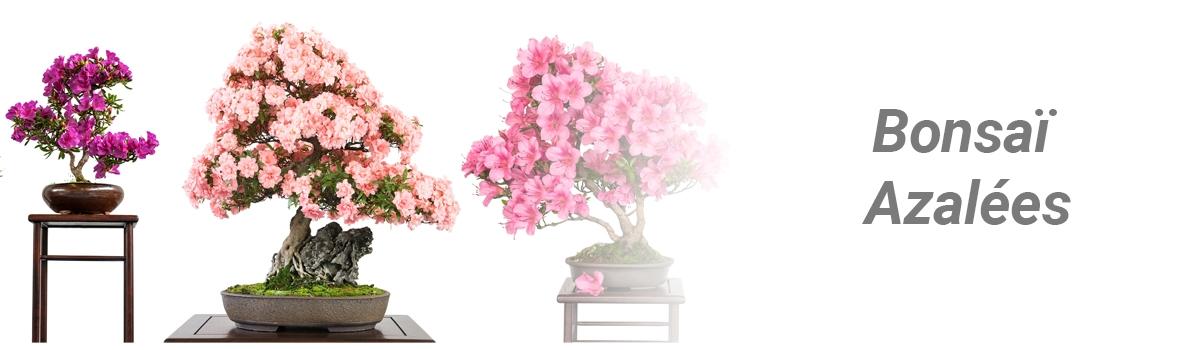 bonsai-azalée